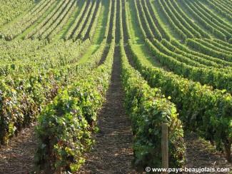 Vigne connectée : la technologie au service des producteurs
